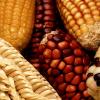 Midwest Corn Crop Condition Worsens