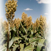 Drought's Reverb…. Valley Growers Urged To Plant Sorghum For Biofuel