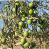 Foreign Olives Still A Problem For California Growers