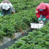 Santa Maria Farmers & Farmworkers Assist In UC Pesticide-Exposure Research