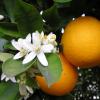 A Tastier Orange On The Way