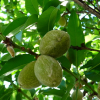 Almonds California's Second-Most Valuable Commodity