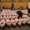 Pacific Albacore Carry Barely Detectable Fingerprints Of Fukushima Disaster