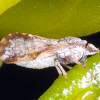 Tulare County: 20 Mile Quarantine Expected With 2nd Citrus Pest Find