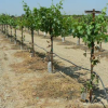 Grape Industry Offers $840K For UC Cooperative Extension Grape Advisor