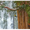 National Geographic Features Region's Big Trees
