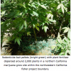 Large Scale Marijuana Farmers Poison Sierra Rodents