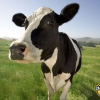 Outlook Turns More Positive For Dairy Farmers