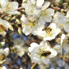 Troubling Honey Bee Shortage in California Almond Orchards