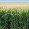 Corn Prices Drop As Supply Worries Ease… But It's Too Early To Celebrate
