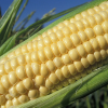 U.S. CORN ACREAGE UP FOR FIFTH STRAIGHT YEAR SAYS USDA