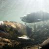 Magnetic Navigation And Salmon Migration