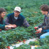 Strawberries Fields Thrive In Central California With Far Less Methyl Bromide