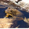 Pesticide Accumulation in Sierra Nevada Frogs