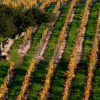 Winergrapes: Early, Exceptional Quality Vintage Throughout the State