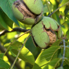 NUT NEWS: Walnuts,Almonds,Diamond Foods