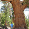 Large Old Trees Grow Fastest, Storing More Carbon