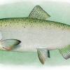 From California To Canada, Millions Of West Coast Salmon Expected