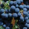 Ag Beat: Grapes / Citrus / Cheese / GMO