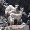 A Major Milestone Achieved in the Recovery of Federally-Endangered Sierra Nevada Bighorn Sheep at Sequoia and Kings Canyon National Parks