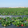 Cal Poly Names Plant Experts to Lead R&D at Strawberry Sustainability Research and Education Center