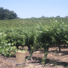Central Coast Leads State In Wine Grape Expansion