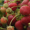 Commentary: American Dream flourishes in state's strawberry fields