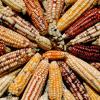 How Maize Came To Southwest
