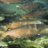 California Salmon Season Looks Good Despite Drought