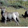Endangered Sierra Nevada Bighorn Sheep Restored to Yosemite and Sequoia National Parks