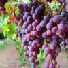 Vineyard Expansions Challenge Production-Demand Balance in California
