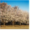 2015 CALIFORNIA ALMOND FORECAST DOWN AS SET IS POOR