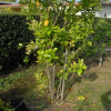 More Infected Citrus Trees Likely