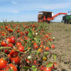 Processing tomato harvest proceeds well
