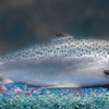 FDA – GE Salmon Safe to Eat