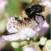 WILD BEES DECLINE WHERE CROP POLLINATION MOST NEEDED, STUDY FINDS