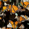 Monarchs' Wings May Reveal If They Are From Pismo