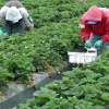 Layoffs In The Berry Patch