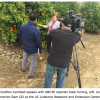 Californians are checking new growth on citrus for Asian citrus psyllid