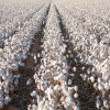 Cotton Acres Up One Third In Valley
