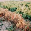 Kings County News : Tomato Yield / More