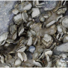 Mass Oyster Die-off Related To Atmospheric Rivers