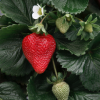 California Strawberries Have Tough Start To Season