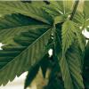 Woodlake & Farmersville Pass Cannabis Tax Measures