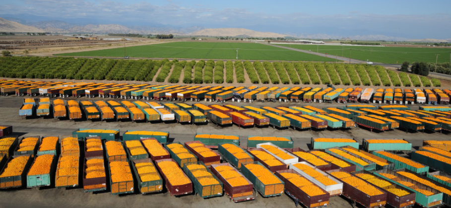 Ffeeze damaged citrus heads to the juice market in Tulare County - photo courtesy Ventura Coastal