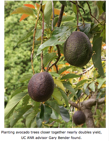 High-density Planting Of Avocados Boosts Yield | Sierra2theSea