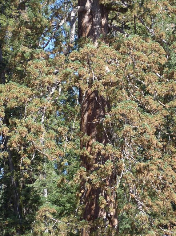 Sequoia:Drought 2015-06-15 at 10.15.47 AM