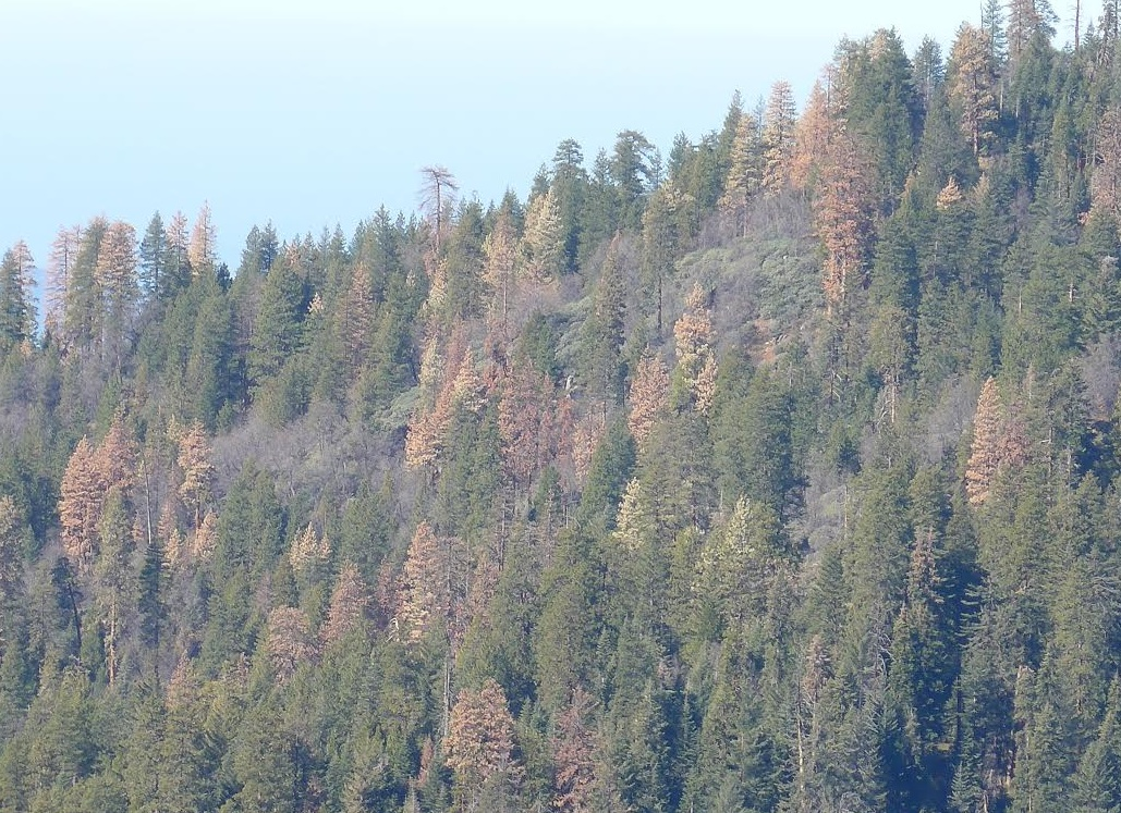trees dying in SNP  2015-06-15 at 10.14.33 AM