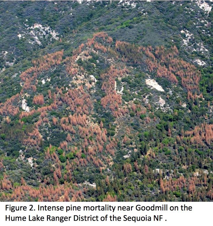 hume-lake-tree-mortality-2015-2016-09-24-at-6-13-10-am
